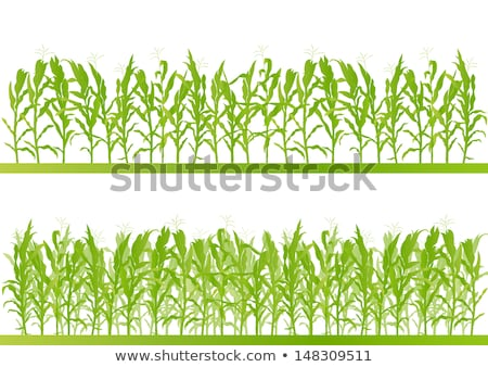 milho · crescente · seca · verde · campo - foto stock © meinzahn
