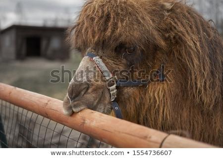 Camello cabeza primer plano cielo ojo pelo Foto stock © Kayco