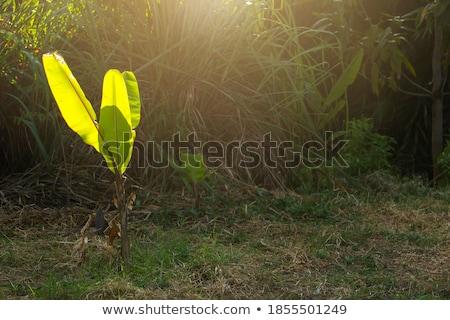 banana · folha · pormenor · backlight · sol · verde - foto stock © sundaemorning