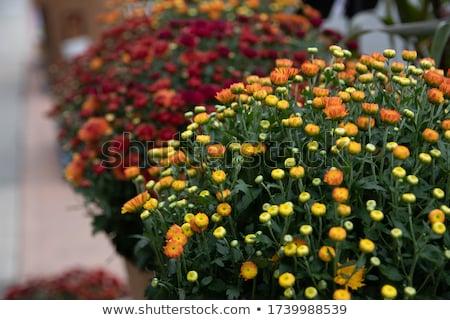 Flowers bud of Magenta chrysanthemum Stock photo © Yongkiet
