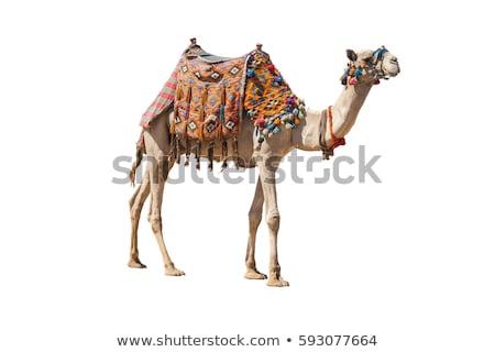 Egípcio camelo ilustração natureza areia engraçado Foto stock © adrenalina