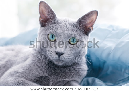 blue cat eyes Stock photo © romvo