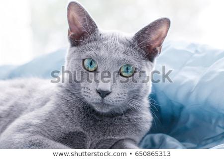 blue cat eyes Stock photo © romvo