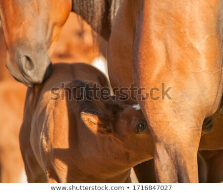 nursing foal in field stock photo © lameeks