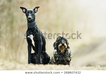 Woman with black puppy. Stock photo © iofoto