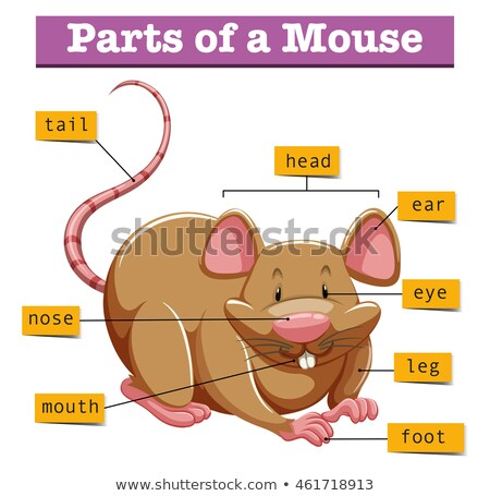 Mouse anatomy diagram