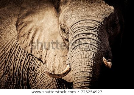 Közelkép afrikai elefánt park Dél-Afrika háttér utazás Stock fotó © simoneeman