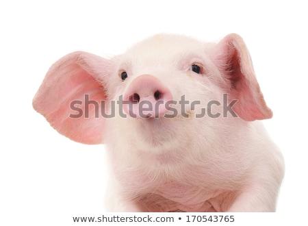 2 · 豚 · 実例 · ランチ · ボックス · ホイップクリーム - ストックフォト © bluering