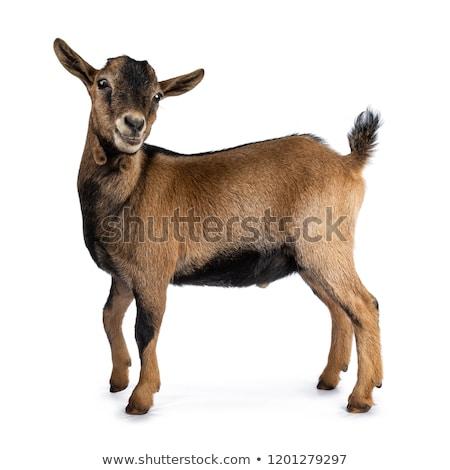 marrom · branco · cabra · campo · em · pé · prado - foto stock © rhamm