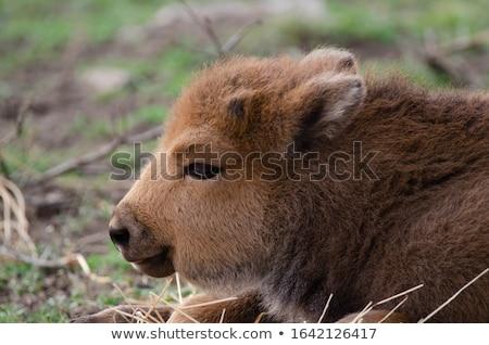giovani · cucciolo · bisonte · basket · guardando · baby - foto d'archivio © maros_b