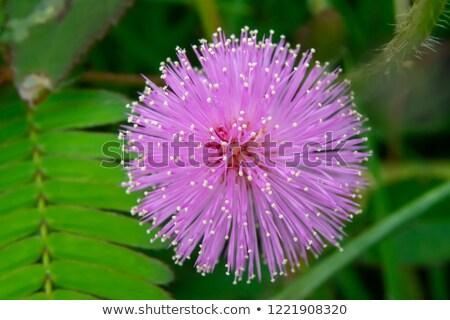 sensível · planta · verde · natureza · jardim - foto stock © stoonn