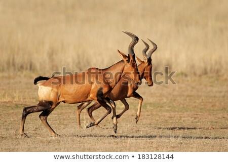 Red Hartebeest antelope Stock photo © fouroaks
