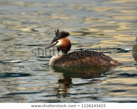 Great crested grebe duck Stock photo © Elenarts