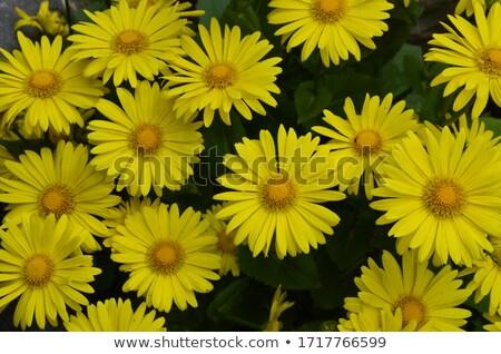 Giallo fioritura fiore raggi mattina sole Foto d'archivio © hraska