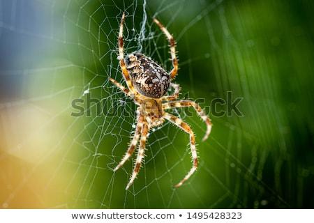 Bol spin spinnenweb hangend web boerderij Stockfoto © rhamm