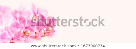 Close up of a pink orchid Stock photo © jeancliclac