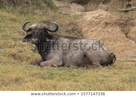 Buffalo Lying Down stock photo © JFJacobsz