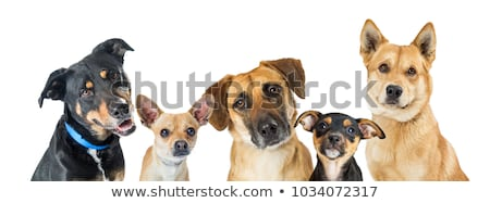 Vegyes fajta kutya fehér díszállat fehér háttér Stock fotó © eriklam