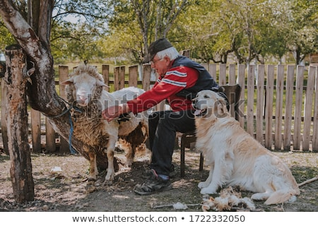 sheep herd, Serbia Stock photo © phbcz