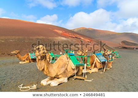 ラクダ · 公園 · 観光客 · 砂漠 · 旅行 - ストックフォト © meinzahn