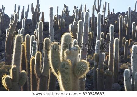 Group of Huge Trichoreus cactus standing on Isla Incahuasi at sa Stock photo © meinzahn