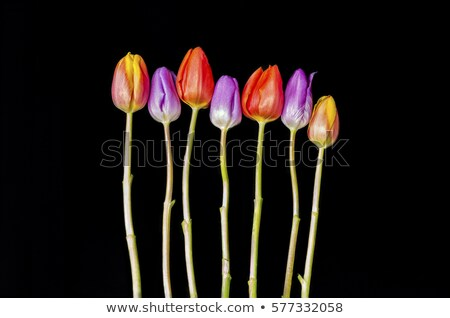 Trimming the stems of a bunch of red tulips Stock photo © ozgur