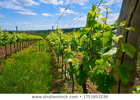 unripe grapevines, Czech Republic Stock photo © phbcz