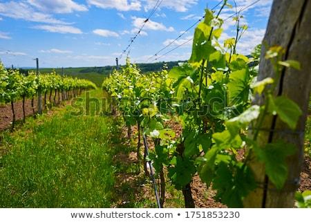 unripe grapevines czech republic stock photo © phbcz
