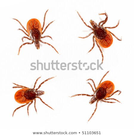 A mite tick on white background Stock photo © bluering