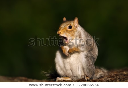 cute and curious grey squirrel Stock photo © taviphoto