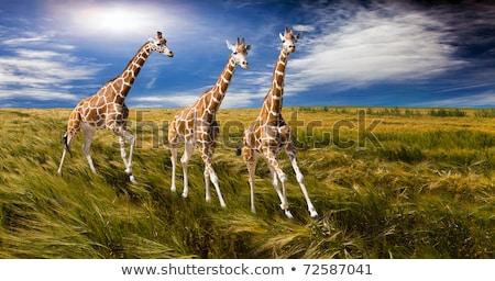 Giraffa esecuzione campo illustrazione erba natura Foto d'archivio © colematt
