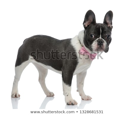 french bulldog wearing a pink bowtie  Stock photo © feedough