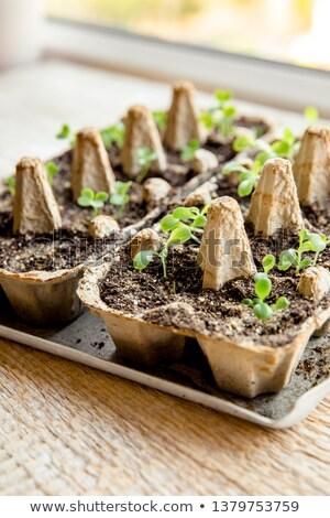 Zöld saláta magok zöldség diéta növény Stock fotó © romvo