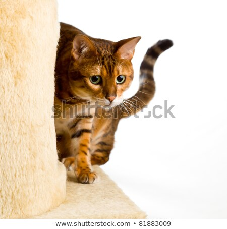 Bengal kitten creeping to camera Stock photo © backyardproductions