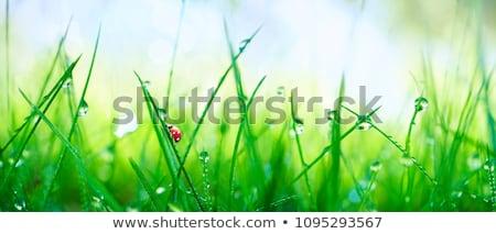 coccinelle · feuille · herbe · verte · gouttes · d'eau · bleu · herbe - photo stock © leeser
