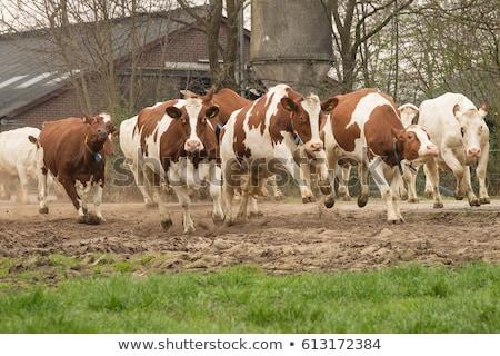 cow 34 Stock photo © LianeM