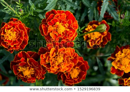 Tagetes flower Stock photo © prill