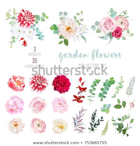 pink striped dahlia flower stock photo © stocker