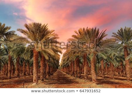 Data palmbomen Californië datum palmen vruchten Stockfoto © emattil