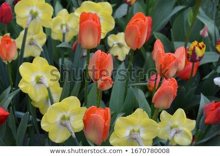 Buquê amarelo narcisos pequeno tulipas branco Foto stock © Peredniankina
