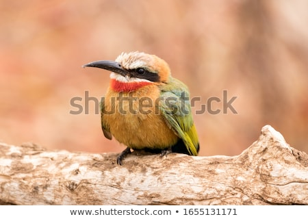 White-fronted Bee-eater Stock photo © dirkr
