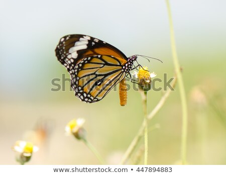 Stock photo: Close up Common Tiger or Danaus genutia butterfly
