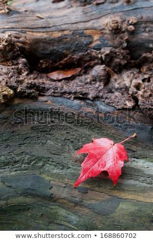 Foglia d'acero legno superficie autunno colorato vecchio Foto d'archivio © olandsfokus