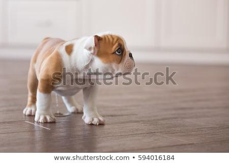 peeing puppy stock photo © willeecole