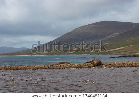 flippers on stony beach Stock photo © Paha_L