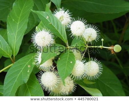 Button Bush (Cephalanthus occidentalis) Stock photo © brm1949