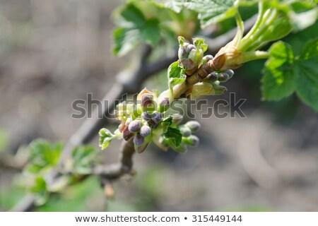 Crescente maçã broto cedo primavera flor Foto stock © funix