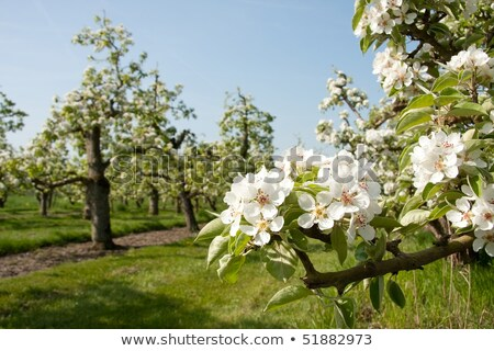 green apples on tree in Holland Stock photo © compuinfoto