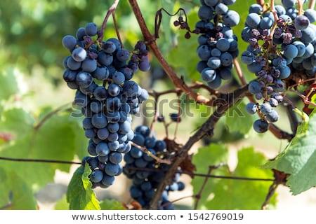 Szőlő régió Toszkána Olaszország gyümölcs szőlő Stock fotó © boggy