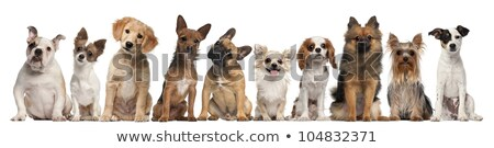 a black and a white dogs are sitting together in a studio Stock photo © vauvau